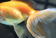 Fantail Goldfish. Taking a closer look.