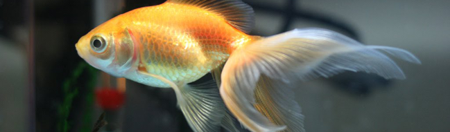 beutiful fancy goldfish