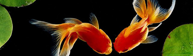 breeding goldfish