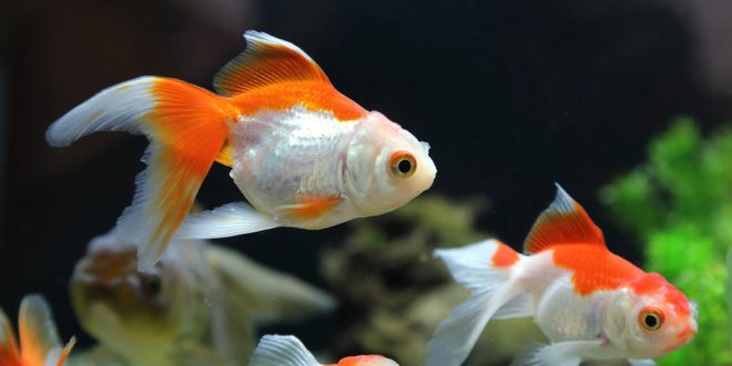A clean goldfish tank with cleaner fish for What fish can live with goldfish