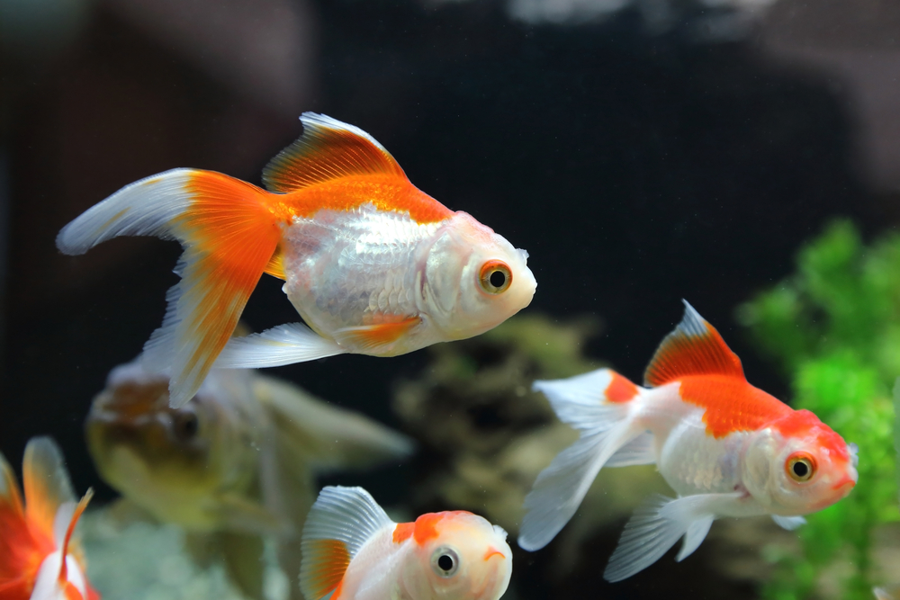 How long do goldfish live caring for your goldfish for What fish can live with goldfish