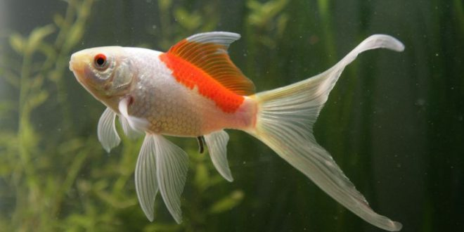 Types of goldfish. Things to know about goldfish!