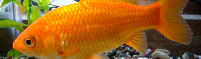 goldfish types with pictures