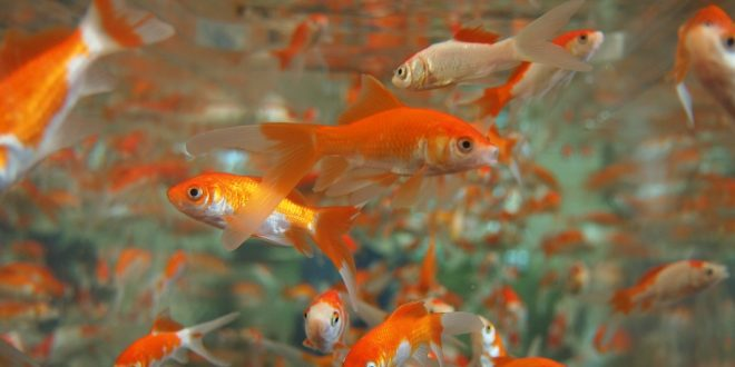 A Clean Goldfish Tank With Cleaner Fish