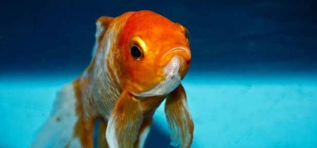 the life span of a goldfish Fantail goldfish were first discovered in the 1400s believe it or not, all goldfish, from the five-for-a-dollar feeders to the prized fish show goldfish of japan and china, are all the same species the fantail is no exception.