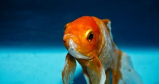 not so happy goldfish