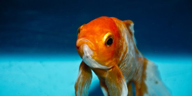 Do Goldfish Sleep? Could Be Your Goldfish Is Sick.