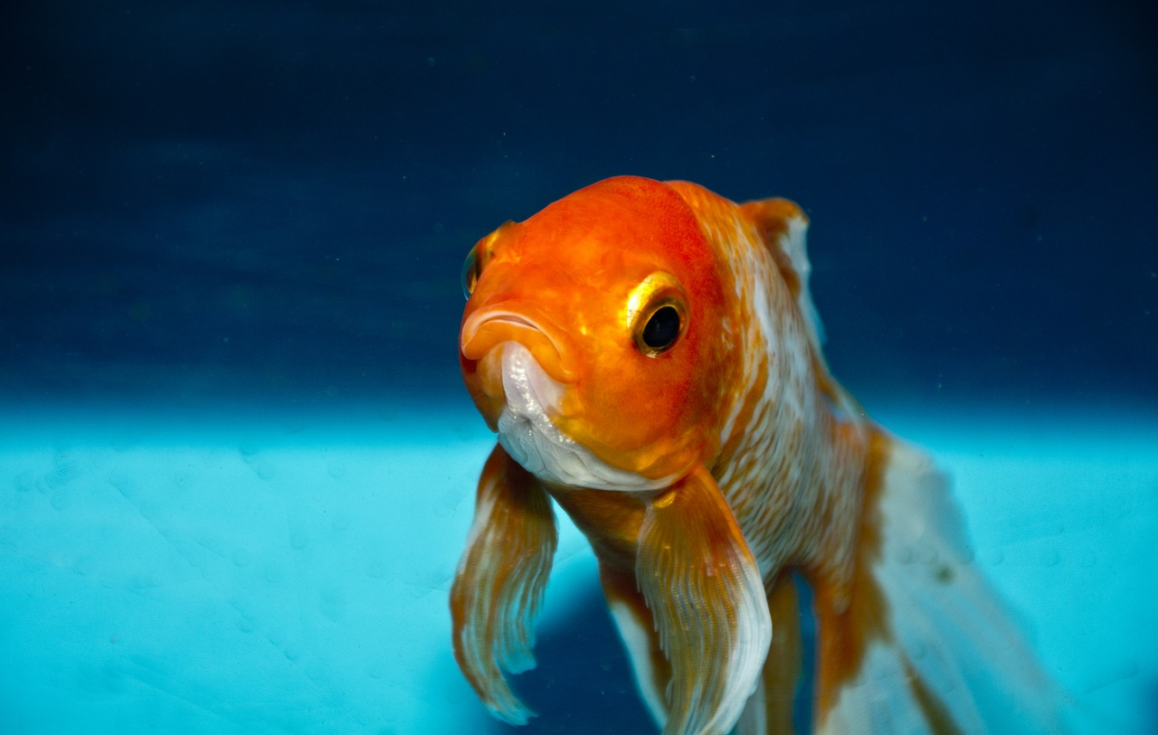pics How to Keep a Goldfish Happy and Healthy